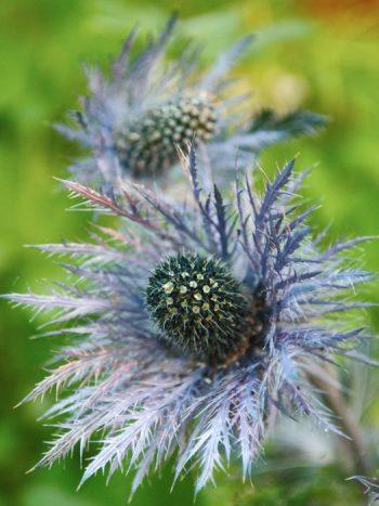 Alpmartorn, Eryngium alpinum