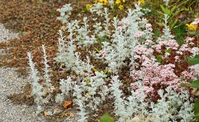 Kamfermalört, Artemisia alba 'Canescens', fetblad, Sedum och brun taggpimpinell, Acaena microphylla 'Kupferteppich'
