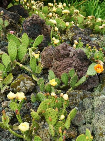 Knölrotsopuntia, Opuntia macrorhiza hemifrån Roland Gustavsson utanför Uddevalla