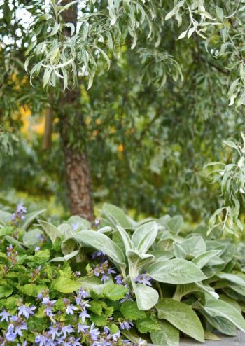 Med ett silverpäron kan man komma så nära Italien eller södra Frankrike som bara möjligt i vårt klimat.