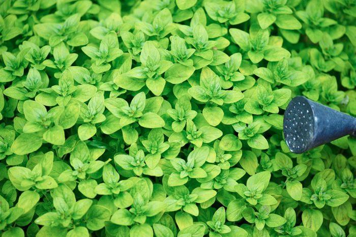 Kungsmynta, Origanum vulgare 'Tumble´s Variety'