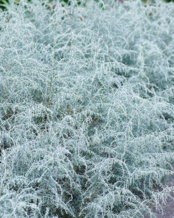 Dillmalört, Artemisia filifolia