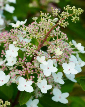 Vill du ha blomning från sensommaren och långt in i hösten, då är vipphortensia, H. paniculata, något för dig. Artens ursprung är området kring Sachalin och och Japan och de flesta sorter är härdiga till zon 3. Sorten 'Floribunda' får lätt hängande, koniskt formade blomklasar med små fertila blommor, elegant omgivna av större sterila. Blir runt 2 meter hög.