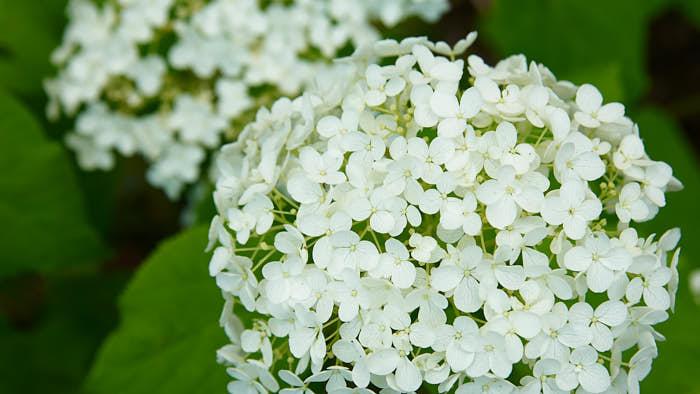 Vidjehortensia, H. arborescens 'Annabelle', blommar med täta klasar av runda blommor under juli–augusti, först läckert limegrön och sedan i vitt. Blir 1–2 meter hög och är härdig till zon 4. Plantera i halvskugga, gärna i maffiga grupper. Blommar på årskott och kan och ska beskäras kraftigt på våren. Härstammar från östra och nordliga USA.