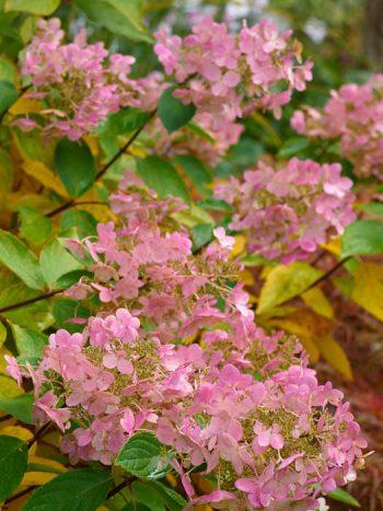 Hortensior blir stiliga på hösten, Vilket inte minst gäller vipphortensian 'Pink Diamond'. På försommaren är blommorna ljust gulgröna för att sedan gå över i vitt och året i rosa. Har den svårt att bestämma sig tro?