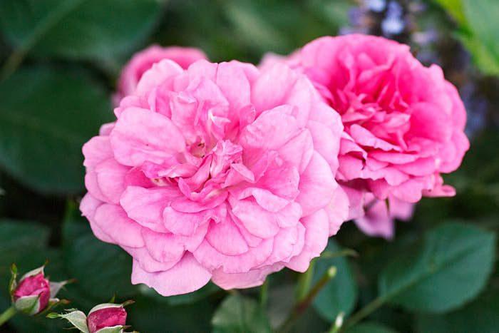 En favoritros som har egenskapen att blomma både på års- och fjolårsskott är 'Morden Centennial' från Kanada. Blommar från månadsskiftet juni–juli till slutet av september. Höjd 70–100 cm. Härdig upp till zon 6.