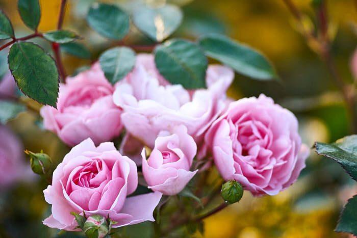 Klassiskt rosa och fullt kapapel att klara sig under tuffa förhållanden är kanadarosen 'Morden Blush' som blommar från juli till senhöst. Blir 60–100 cm hög och möjligen härdig till zon 7.