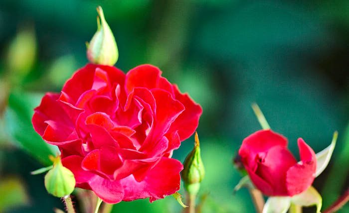 En av de mest populära rosorna i Kanada är kordesiirosen 'Champlain'. Blommar i stora klasar mest hela tiden från slutet av juni till september, härdig till zon 6
