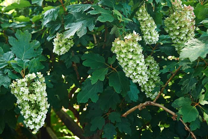 Flikhortensia, H. quercifolia, med ursprung i sydöstra USA, odlas inte bara för de krämfärgade blommorna, som kommer redan under försommaren, utan lika mycket för sina stiliga ekliknande, stora blad. Blir ungefär 2–2,5 meter hög. Klarar ungefär zon 2, hör hemma i södra.