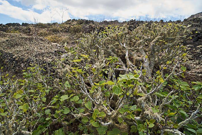 Fikonen grönskar mellan lavastenarna på Monte Corona, Lanzarote.