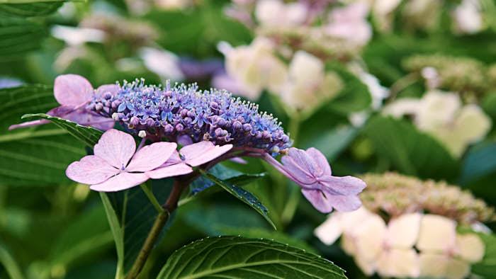 Av mer känsliga trädgårdshortensior finns massor av överdådigt blommande sorter som alla fungerar utmärkt i Skåne och längs Västkusten, på bilden sorten 'Tokyo Delight'. Bor man längre upp i landet kan man använda 'The Bride och 'Endless Summer', vit respektive blå, som båda blommar på årsskotten.