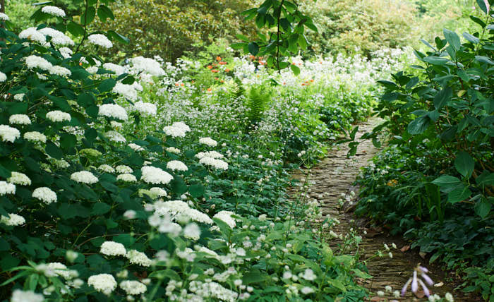Gör som Majoren Johnston på berömda engelska 'Hidcote Manor'. Plantera vidjehortensia och stjärnflocka invid den skuggiga gången.