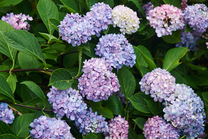 Trädgårdshortensian 'Nigra' har mörka stammar och tillhör de typer vars färg är beroende av jordkemin. För att för att behålla den blå nyansen och inte driva över mot rosa behövs ett lågt pH.