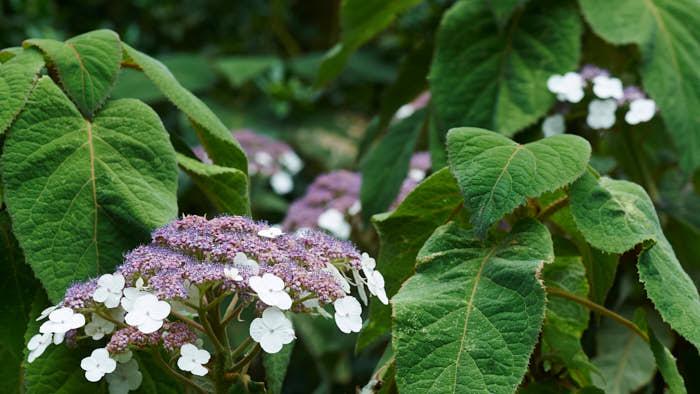 Visst är den läcker, sammetshortensia, H. aspera ssp. sargentiana. De små blommorna i violett är fertila och de större vitaktiga i kransen runt sterila och med uppgift att locka insekter. De stora köttiga bladen ger ett sammetsintryck, den drönskar sent och kan bli uppåt 3 meter i sydligaste landet. Blommar i augusti–september. Anses härdig till zon 2, vill stå skyddat, men klarar sig långt upp i Mellannorrland. Då får man nöja sig med att njuta av bladen.