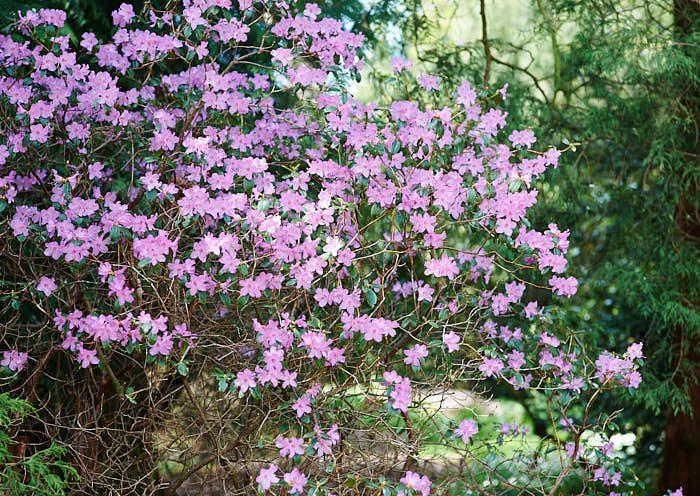 Våralpros Rhododendron x praecox.