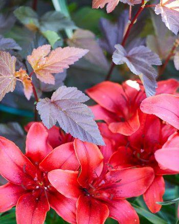 En Märta Eklund kombination i matchande färger som inte är blygsam minsann är smällspirea Physocarpus opulifolius 'Diable d'Or' och liljan 'Black Bird'.