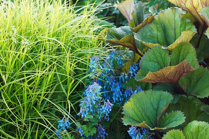 Utsökta kombinationer behöver inte ha starka färger för att framträda. Från vänster palmstarr Carex muskingumensis, himmelsnunneört Corydalis omeiana samt bladen till klippstånds Ligularia dentata 'Othello'.