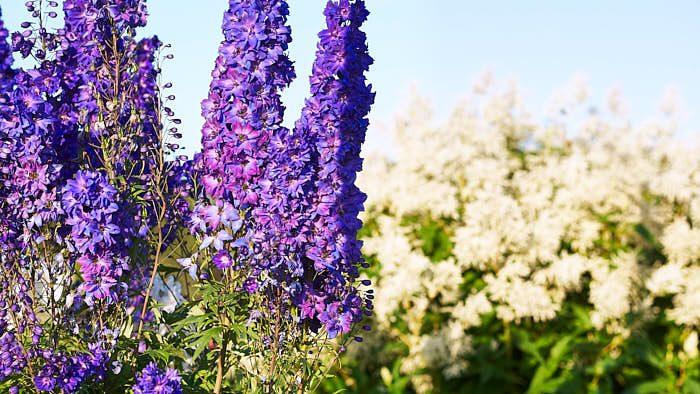 Extra stadigt står trädgårdsriddarsporre Delphinium 'Pagan Purples' liksom andra sorter i det som ibland kallas Millennium-serien med ursprung i Nya Zealand. En något lägre sort som här blir kring 120 cm hög. I bakgrunden den ståtliga och härdiga perennen finnslide Aconogonon × fennicum.
