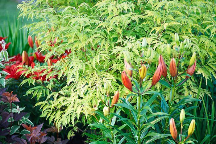 Med färger och former skapar Märta sina förförande kombinationer. Flikbladig druvfläder Sambucus racemosa 'Sutherland Gold' med asiatlilja Lilium 'Sweet Lord' ännu inte utslagen i förgrunden.
