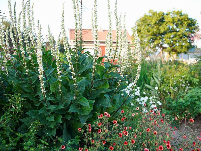 De har så roliga namn många av Märtas perenner. Det franska kungsljuset Verbascum chaixii som står framför huset heter 'Wedding Candles'. Nedanför står indisk fingerört Potentilla nepalensis 'Roxana'.