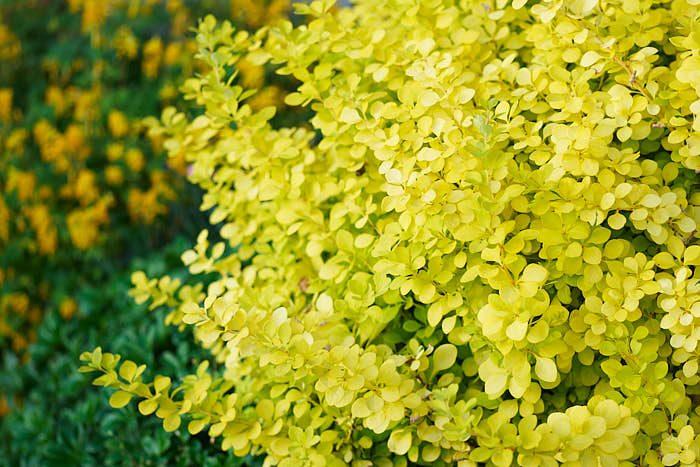 Guldberberis Berberis thunbergii 'Aurea' tillhör favoritväxterna. Vill man ha den tät, vilket man vill, kan man klippa den hårt.