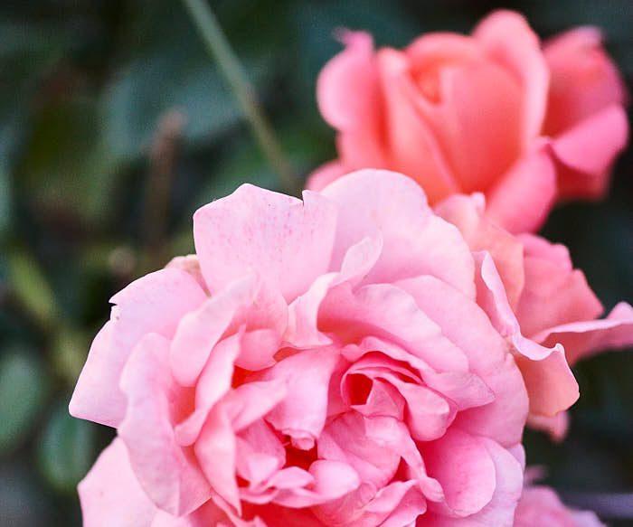 En ros som lider av namnförvirring är 'Bonica', den här är den som ibland benämns 'Bonica 82'. Romantiskt rosa blommor men ihärdigt starkväxande och härdig till minst zon 5. Höjd upp till 1 meter, men den breder gärna ut sig.