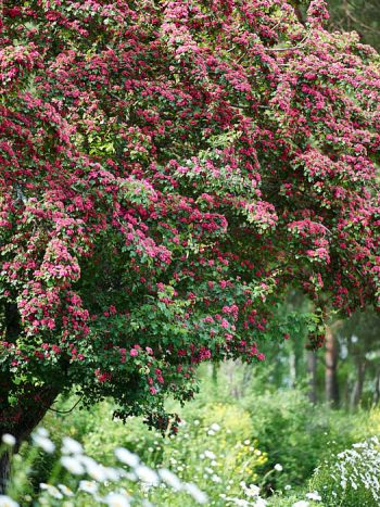 Rosenhagtorn, Crataegus × media 'Paul's Scarlet'