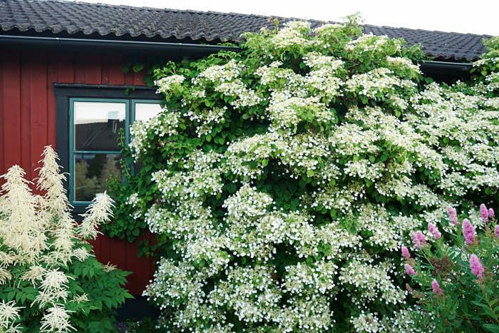 Klätterhortensia, H. anomala ssp. petiolaris, växer långsamt, speciellt i början. Med tiden kan de få hela 6–7 meter långa rankor, men går lätt att beskära. Behöver inte spaljéras, de suger fast sig själva. Trivs i halvskugga–skugga upp till zon 4 och blommar från mitten av juni.