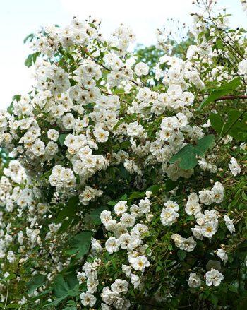 Honungsros, Rosa 'Lykkefund'
