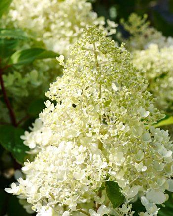 För dig som bor i Dalarna eller längs Norrlandskusten, zon 4 eller 5, är syrenhortensia, H. paniculata 'Grandiflora', ett ståtligt alternativ. Är känslig de första åren, blir tålig med tiden. Höjd 2–3 meter, kan med fördel stammas upp till ett buskträd. Blommar från juli ända till september med stora, gräddvita blomflockar som övergår i rosa.