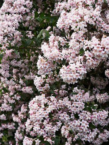 Paradisbuske, Kolkwitzia amabilis