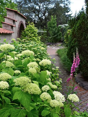 Vidjehortensia, Hydrangea arborescens 'Annabelle'