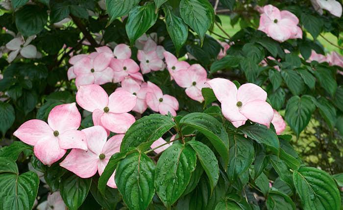 Koreansk blomsterkornell, Cornus 'Satomi'