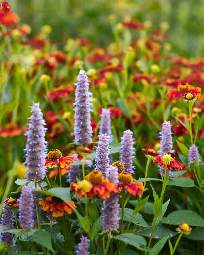 Anisisop, Agastache foeniculum tillsammans med trädgårdssolbrud, Helenium 'Flammendes Kätchen'