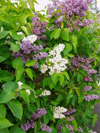 Syren, Syringa vulgaris