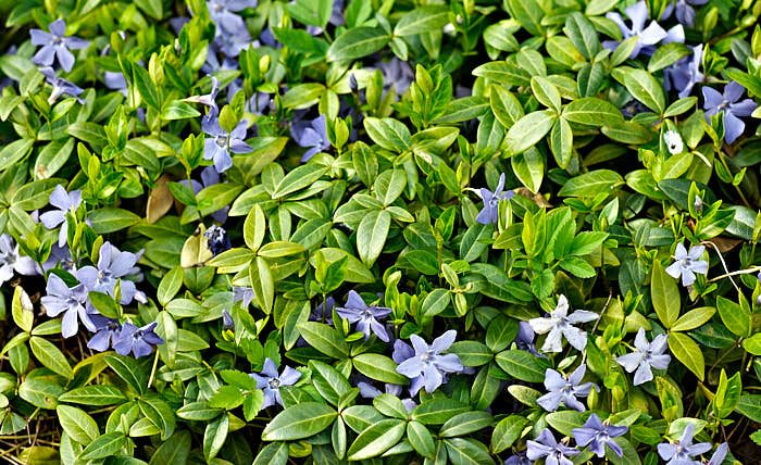 Vintergröna, Vinca minor