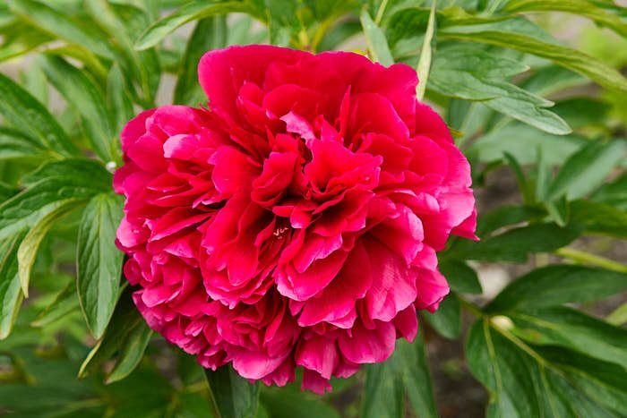 Bondpion, Paeonia × festiva