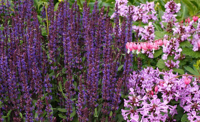 Praktbetonika, Stachys macrantha, stäppsalvia, Salvia nemorosa, och löjtnantshjärta, Lamprocapnos spectabilis