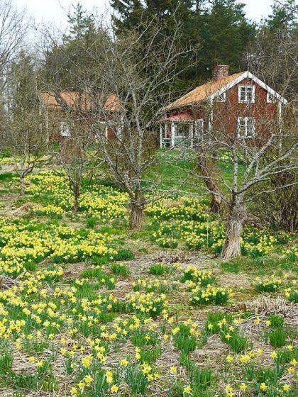 Snart kommer de utblommade påskliljorna att täckas av perenner, både vackert och praktiskt. Bild från det torp i Småland som tidigare ägts av trädgårdsmästarna Klaas och Bodil van der Geest.