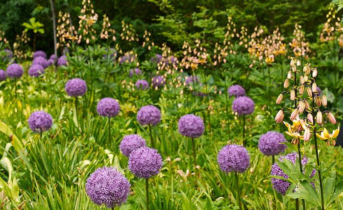 Allium 'Globemaster' framför mandarinliljor, Lilium 'Mrs R.O. Backhouse'.