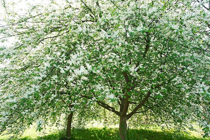 Hägg, Prunus padus