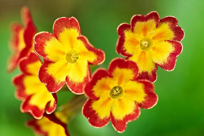 Primula × polyantha, trädgårdsviva