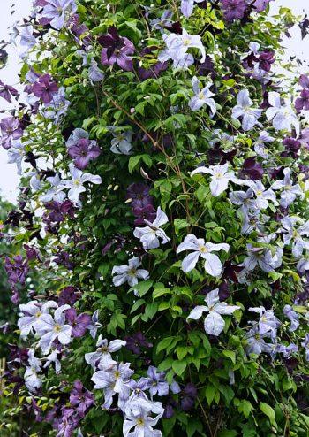 Klematiskombination i harmonierande färger i ett avlidet päronträd. Sorterna är 'Emilia Plater', 'Black Prince' och 'Kaaru'.