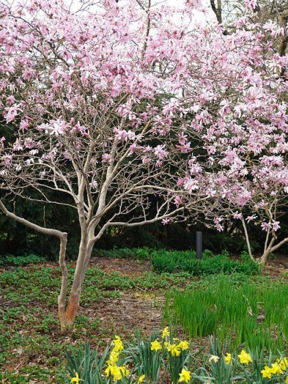 Den kanske vackraste och mest lättodlade av magnoliorna, 'Leonard Messel' blir en utbredd buske. Om den stammas upp bildas ett litet kronträd med förföriskt krokiga stammar. Bild från Blomstergården i Enköping.