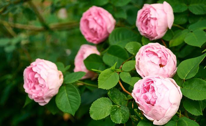 Ljuva dofter gör inte bara att det känns bättre, de tillhör de faktorer som gör oss friskare. Den moderna engelska rosen 'Constance Spry' klättrar högt, blommar ymnigt, doftar gott och är ovanligt härdig.