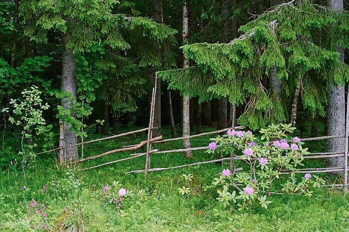 Mot den intilliggande skogen står gärsgården som på ett symboliskt plan skyddar gården från betande kreatur. Framför har Torgny placerat rododendron.