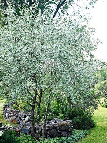 En av Torgnys lundmiljöer. En silverpil, Salix alba var. sericea, dominerar, under täcks marken av jordnäva och waldsteinia (gullgröna). Stengärdsgården är byggd för att förstärka intrycket av beteshage. Mossa lagd på stenarna har snällt spridit sig.