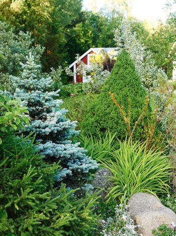 Barrträdsdominerad rabatt närmare bostaden. Från vänster en vanlig gran, en blågran och en sockertoppsgran. Bakom skymtar silverbuske och havtorn i grått. Den hårt åtgångna grenen till höger är en idegran som sorken tuggat på under vintern.