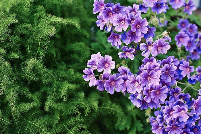 Till vänster den högt älskade perennen björnrot, Meum athamanticum. Under tidig säsong känns den som dun. Längre fram på säsongen får den hundkexliknande blommor som kan klippas bort. Till höger kungsnäva, Geranium × magnificum, en annan suverän perenn.