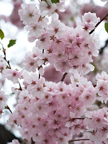 Att fira körsbärsblomning, sakura, gör man i Japan. På TV sänder de prognoser över dem. Självklart är det deras skönhet som beundras. Njut av naturens underverk och må bättre. På bilden prydnadskörsbäret Prunus 'Accolade' som är härdigt i södra halvan av Sverige och blommar tidigt på våren.